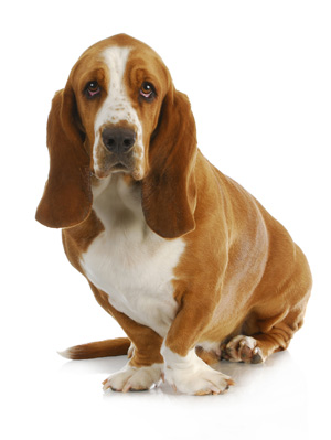 Bassett Hound looking at you.