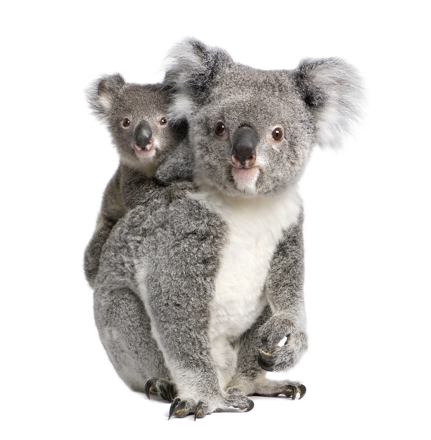 Koala bear and her baby on her back