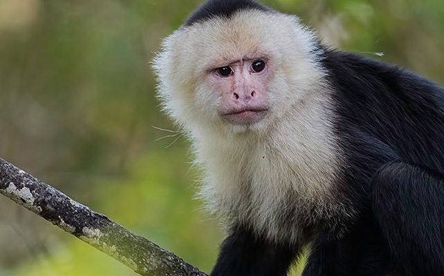 adopt a capuchin monkey like this one sitting in a tree