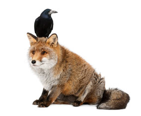 Fox with bird on head