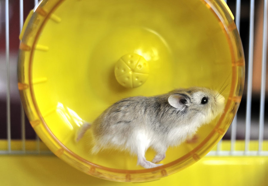 Hamster running on wheel