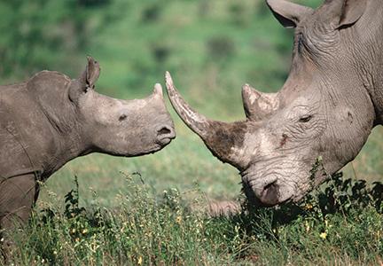 African Rhino Calf